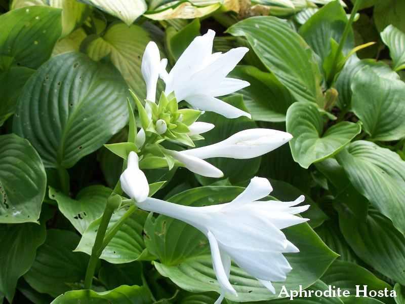 Aphrodite Hosta With Fragrant Blooms Favorite Perennials