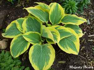 majesty-hosta-300